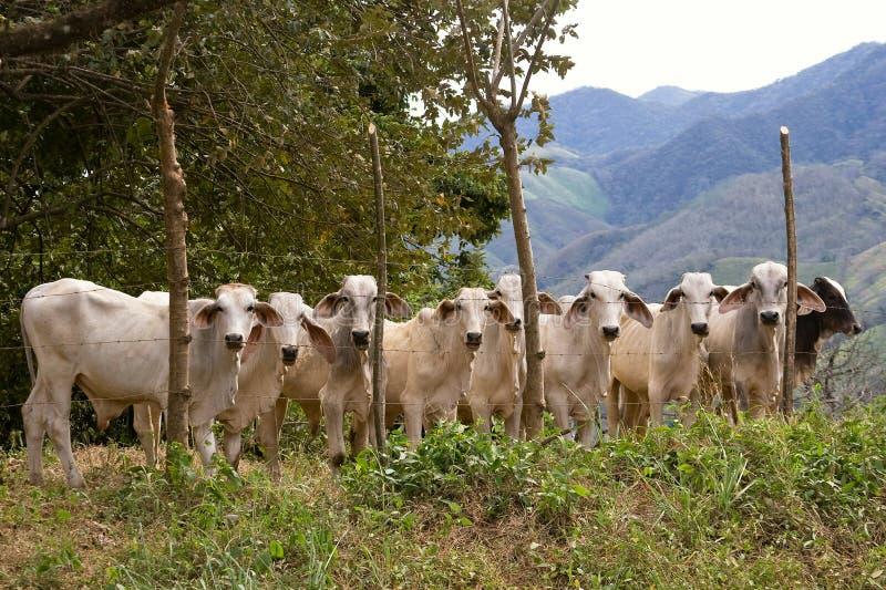 Formação do gado imagem de stock