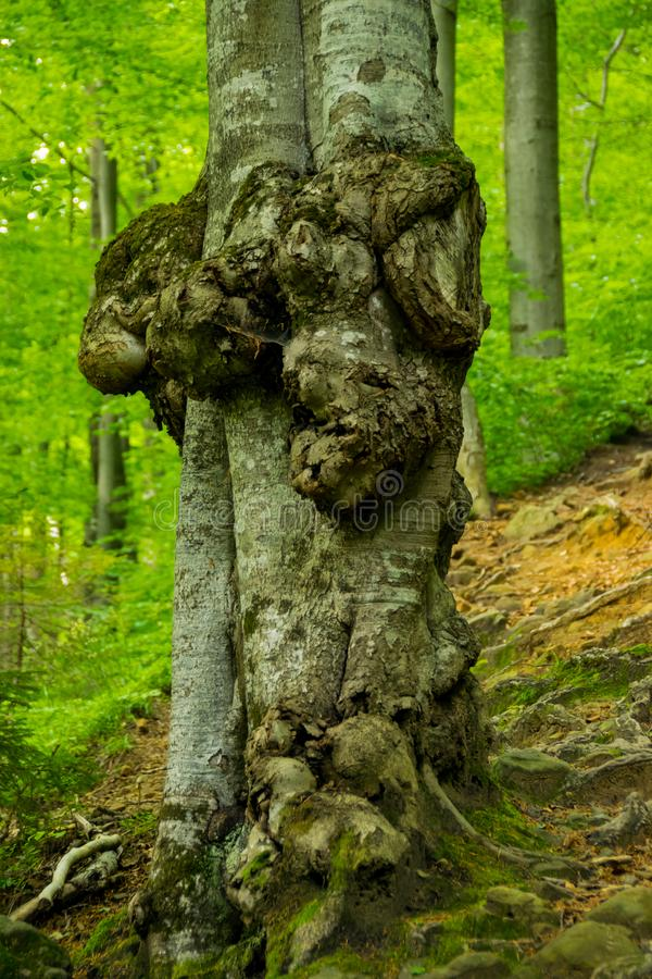 Formações do Burl no tronco de árvore imagem de stock royalty free