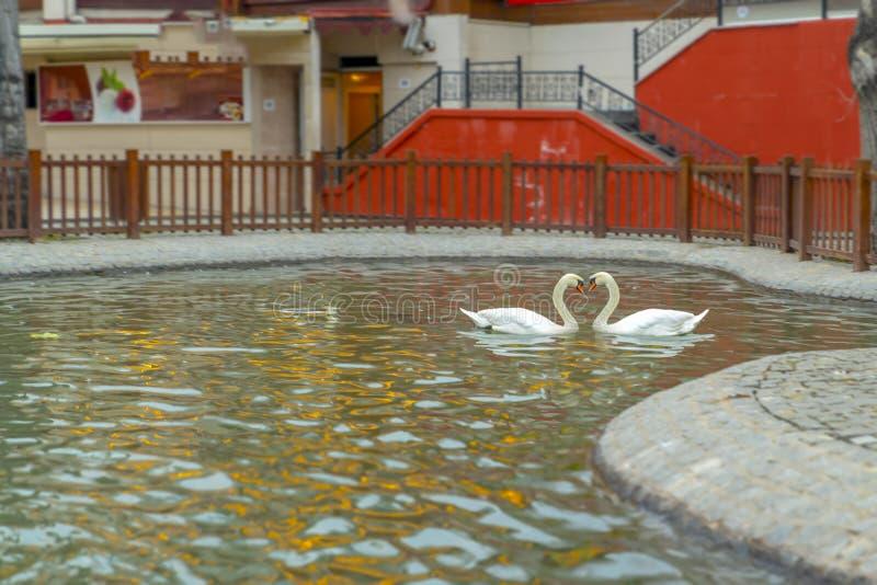 Forma del cuore dei cigni bianchi nel parco di Kugulu, Ankara, Turchia fotografia stock libera da diritti