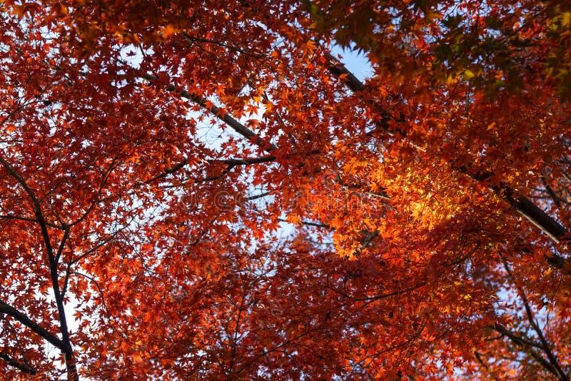 Forma di foglie arancio di caduta un baldacchino sui rami al di sopra fotografie stock libere da diritti