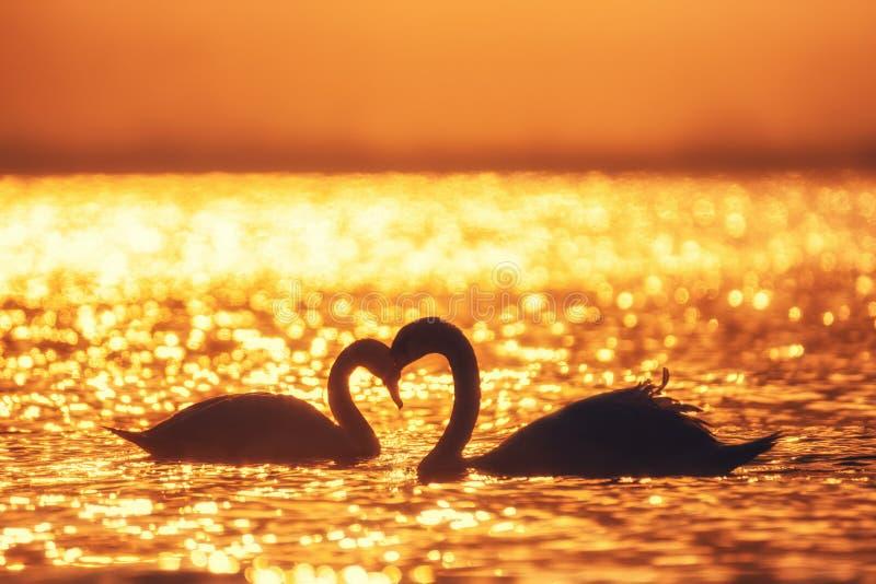 Forma do coração das cisnes brancas no mar fotografia de stock