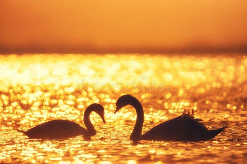 Forma do coração das cisnes brancas no mar imagens de stock royalty free