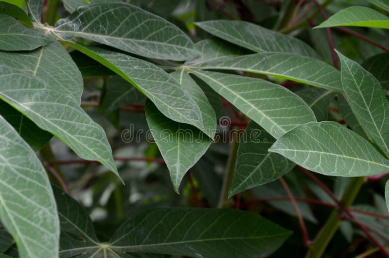 A forma e a textura das folhas verdes tropicais fotografia de stock royalty free