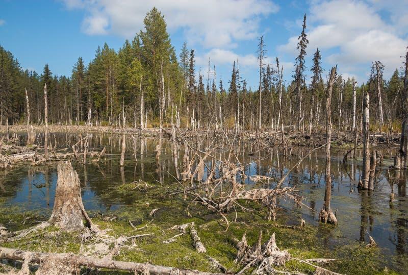 Forma??o de p?ntanos mesotr?ficos no taiga da zona clim?tica, floresta-tundra da regi?o de Arkhangelsk fotografia de stock