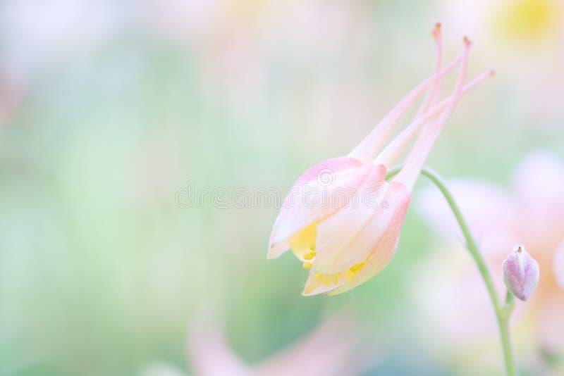 Forma rosa di immaginazione di colore del germoglio Aquilegia rosa nella fase della rivelazione fotografia stock