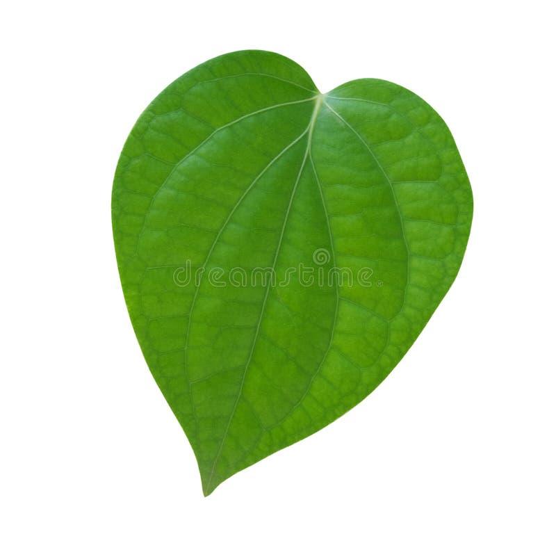 Forma verde del cuore della foglia della pianta del granello di pepe isolata su fondo bianco, percorso fotografia stock