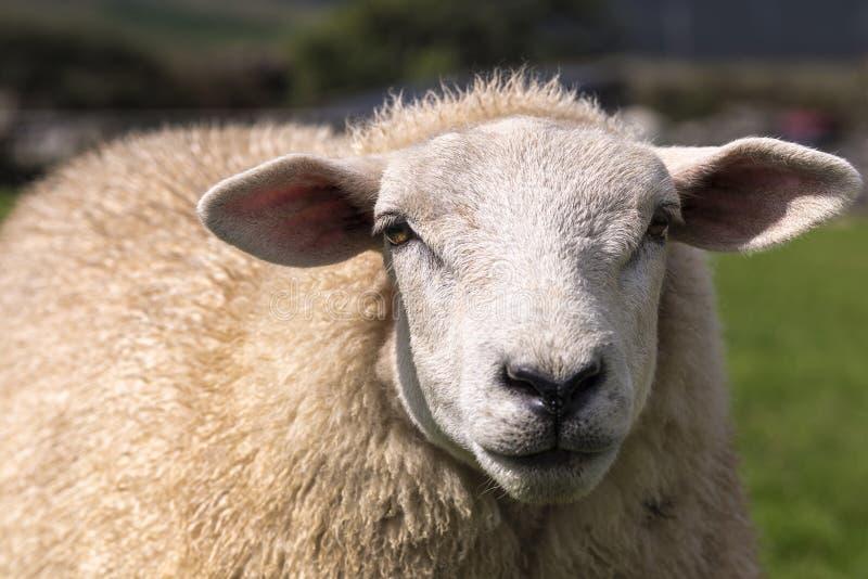 Formaat-vullend portret van een schaap op een groene weide met horizontaal geplaatste oren, Dingle, Ierland stock afbeelding
