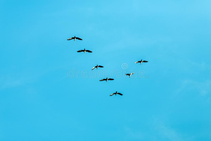 Formación v de pájaros fotografía de archivo libre de regalías