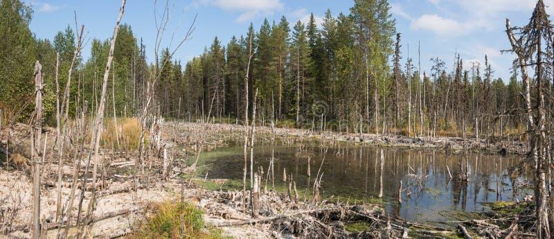 Formacja bagna mesotrophic W klimatycznej strefy tajdze, tundra Arkhangelsk region obraz stock