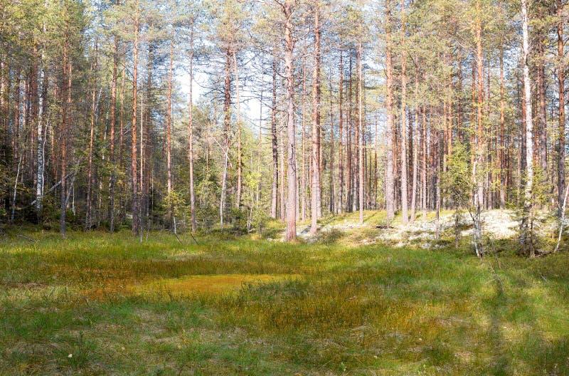 Formacja bagna oligotroficzni W klimatycznej strefy tajdze, tundra Arkhangelsk region obrazy royalty free