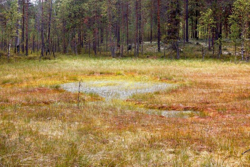 Formacja bagna oligotroficzni W klimatycznej strefy tajdze, tundra Arkhangelsk region zdjęcia royalty free