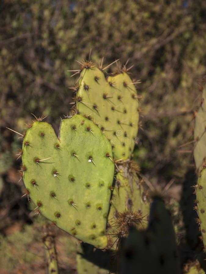 formad kaktushjärta arkivbilder