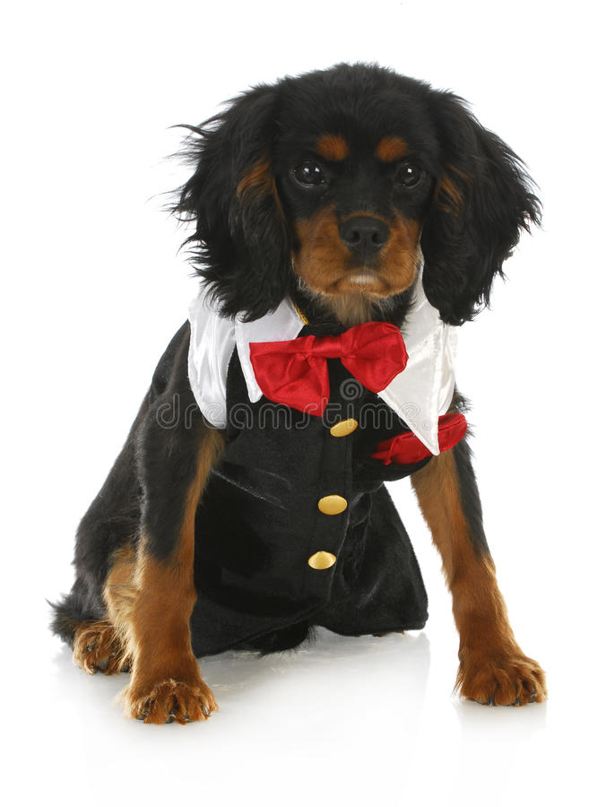 Download Formal dog stock photo. Image of humor, costume, formal - 27270652