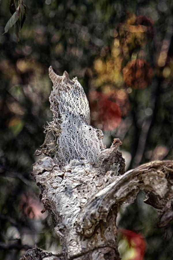 Formas caprichosas inusuales del higo chumbo muerto imagen de archivo