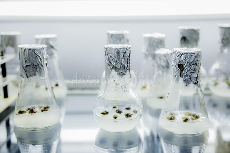 The formation of callus tissue in test flasks. Micropropagation technology stock image