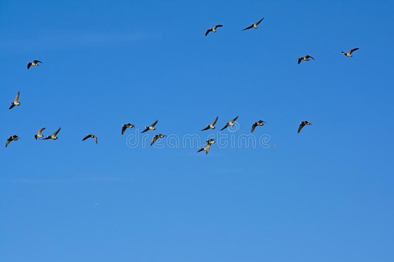 Formation of canada geese in flight on a clear blue sky - Branta canadensis. Formation of canada geese on a clear blue sky with soft fluffy clouds, view from stock photos