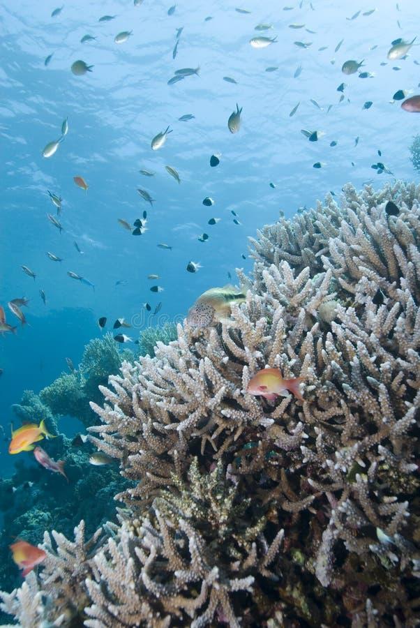 Formation d'origine de corail de Staghorn avec des poissons. photo stock