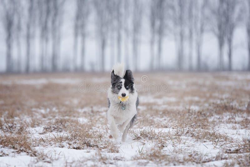 Formation de chien de border collie en parc d'hiver photos libres de droits