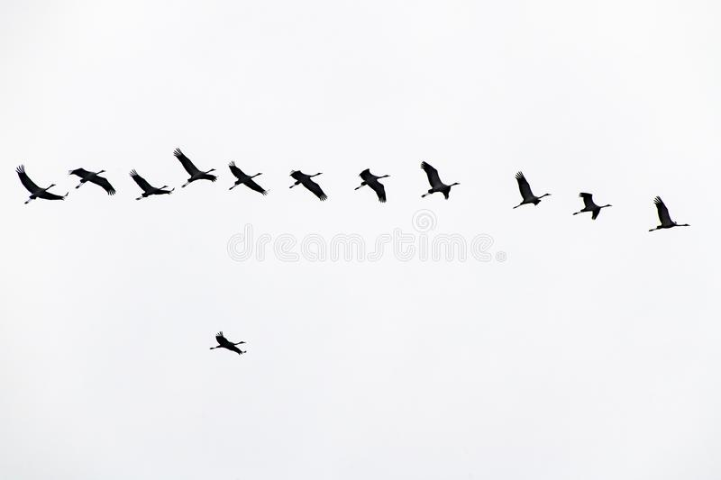 Cranes formation flight, migration birds, flying cranes, overtaking manoeuvre. Migration cranes flying in line in spring. Isolated on white stock photography