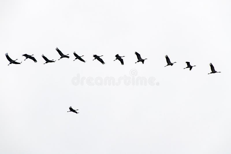 Cranes formation flight, migration birds, flying cranes, overtaking manoeuvre stock photography