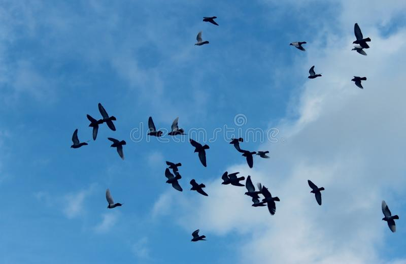 Formation of flying pigeons against the background of the sunny sky royalty free stock images