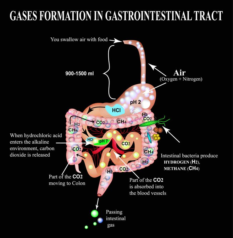 Formation of gases in the gastrointestinal tract. Esophagus, stomach, duodenum, small intestine, colon. Carbon dioxide, methone. Flatulence. Infographics royalty free illustration