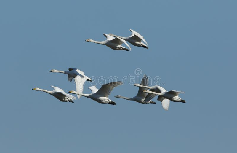 A flock of stunning Whooper Swan Cygnus cygnus flying in the blue sky. stock photos