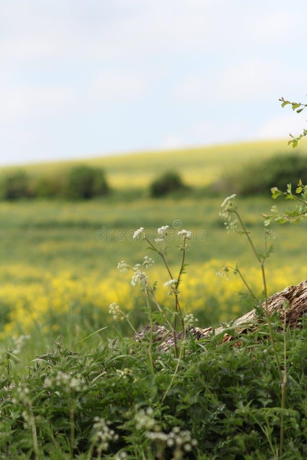Formato blanco y amarillo del campo de flor salvaje macro de las flores de retrato fotos de archivo libres de regalías
