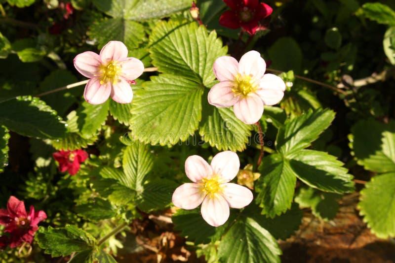 Formato di paesaggio rosa dei fiori del Rockery immagini stock