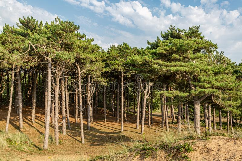 Formby Pinewoods. The pinewoods at Formby in Merseyside, on a sunny summers day stock photos