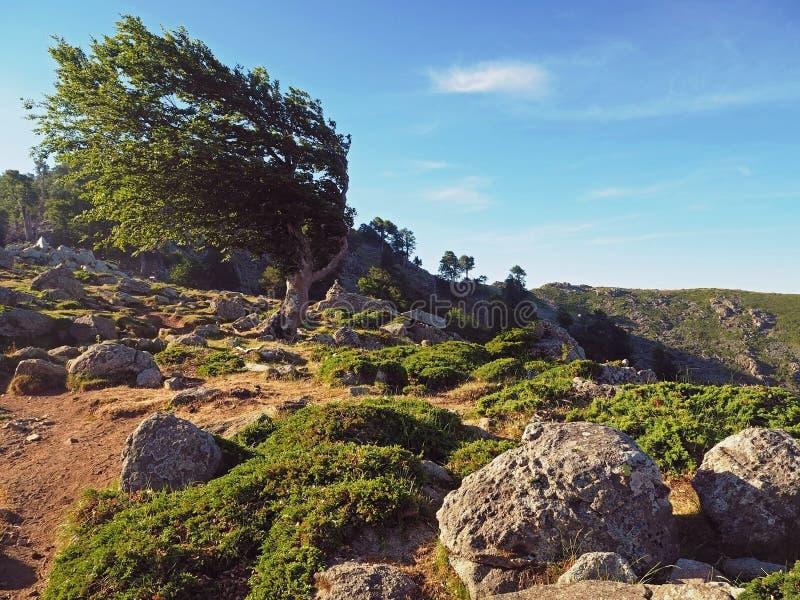 Forme étrange verte coudée d'olivier et MOU corsician de grandes pierres photographie stock