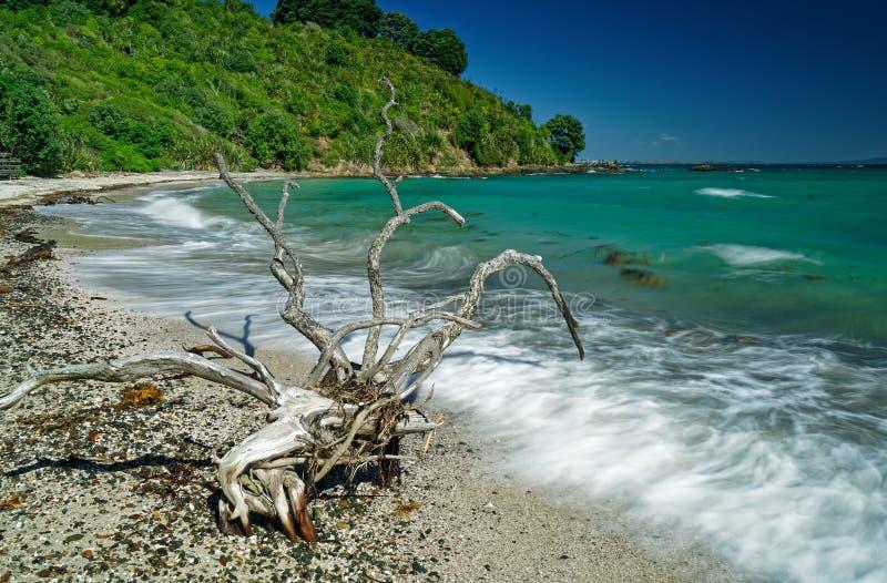 Forme de vie étrangère sur la réserve naturelle ouverte d'île de Tiritiri Matangi de plage de Hobbs, Nouvelle-Zélande photos libres de droits