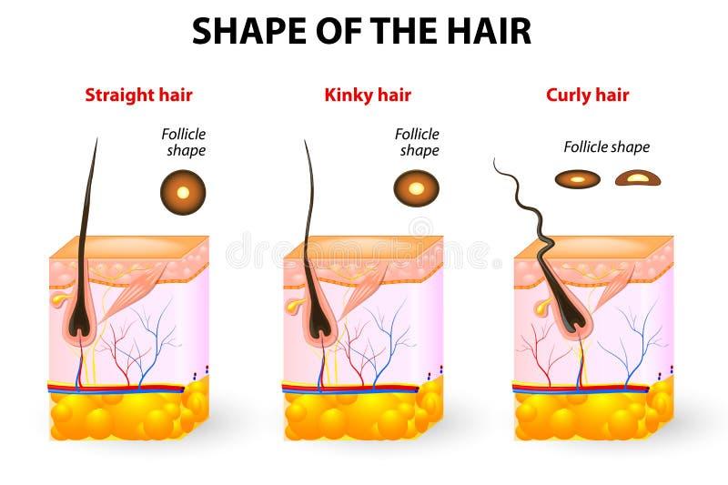 Forme des cheveux et de l'anatomie de cheveux illustration libre de droits