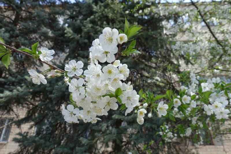 Forme fleurie simple de cerise au printemps photos libres de droits