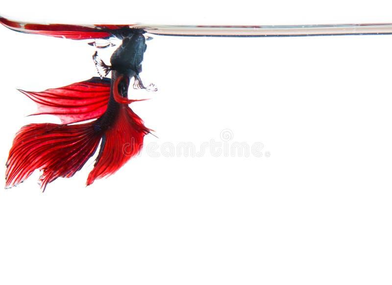 Forme supérieure de combat de poissons de betta rouge thaïlandais sous l'eau claire d'isolement photo stock