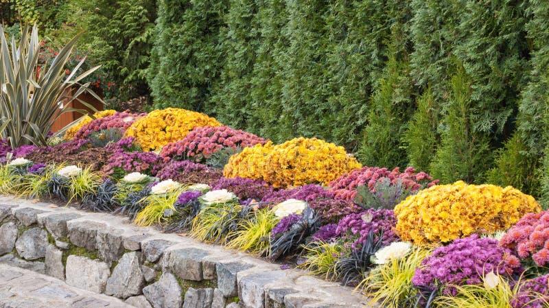 Formell nedgångträdgårdgräns med krysantemum royaltyfri foto