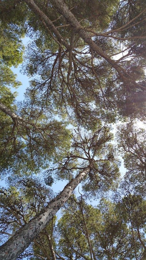 Formentor Mallorca lata drzewa obraz stock