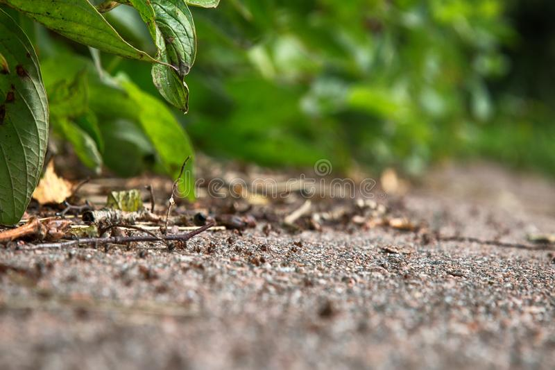 Formic road (ant way) to anthill. Red forest ants, Formica rufa, scurrying here and there, foraging, compulsory community service, macro stock photo