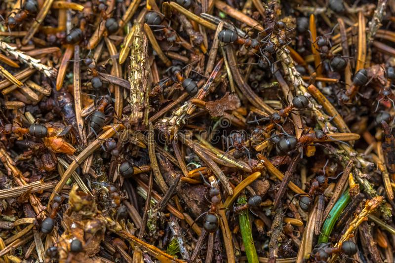 Formica Ants colony. Formica Ants working together in colony hill stock photos