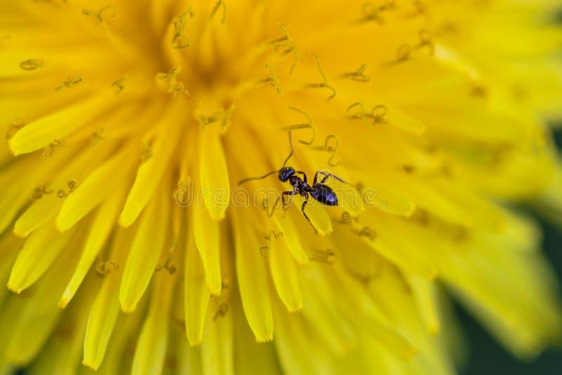 Formica che cammina su un dente di leone giallo fotografia stock