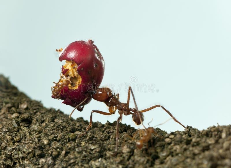 formica della Foglia-taglierina, acromyrmex octospinosus, mela alimentare di trasporto fotografia stock libera da diritti