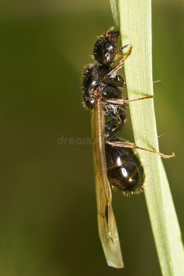 Download Formica Della Mietitrice (barbarus Di Messor) Immagine Stock - Immagine di wildlife, aperto: 30825017