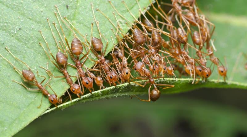 Formica, formica rossa immagini stock libere da diritti