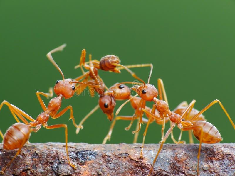 Formica nell'azione nella giungla fotografia stock