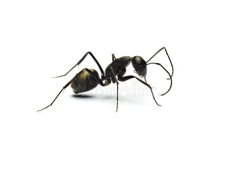 formica nera isolata su fondo bianco fotografia stock