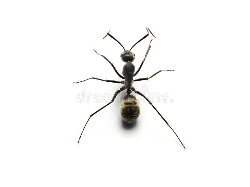 formica nera isolata su fondo bianco immagini stock libere da diritti