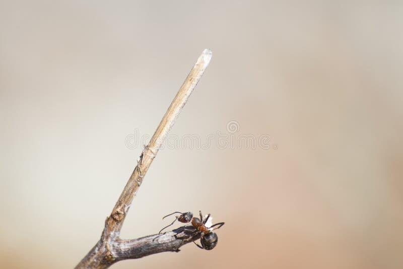 Formica rufa, czerwona drewniana mrówka na gałąź w miękkim tle obraz stock
