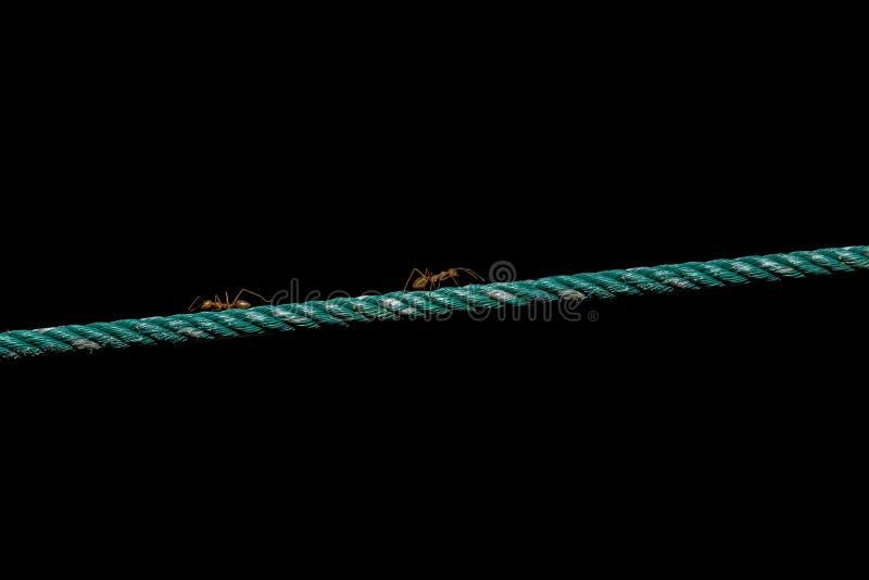 Formica sulla corda fotografie stock
