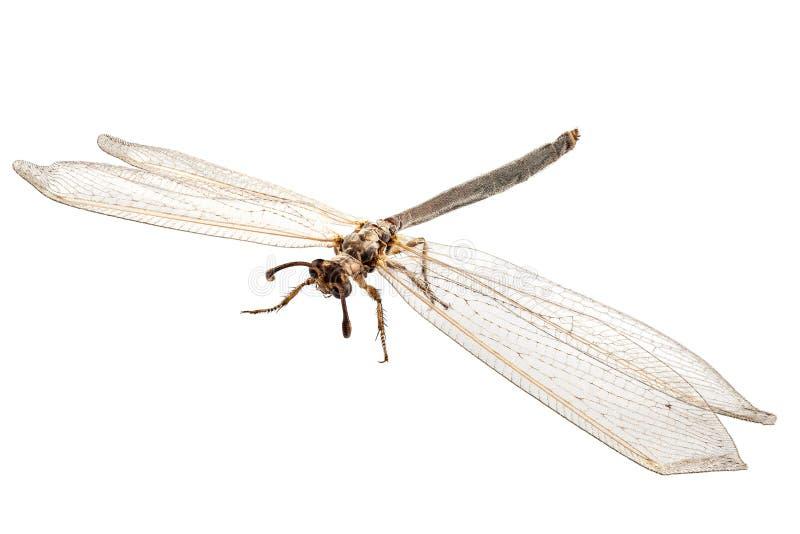 Formicarius del Myrmeleon de la especie del Hormiga-león imágenes de archivo libres de regalías