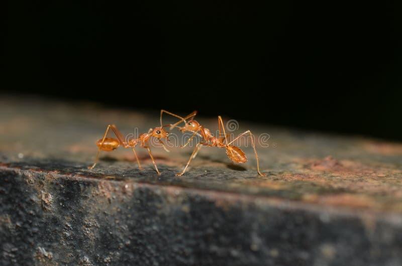 2 formiche che comunicano fotografia stock